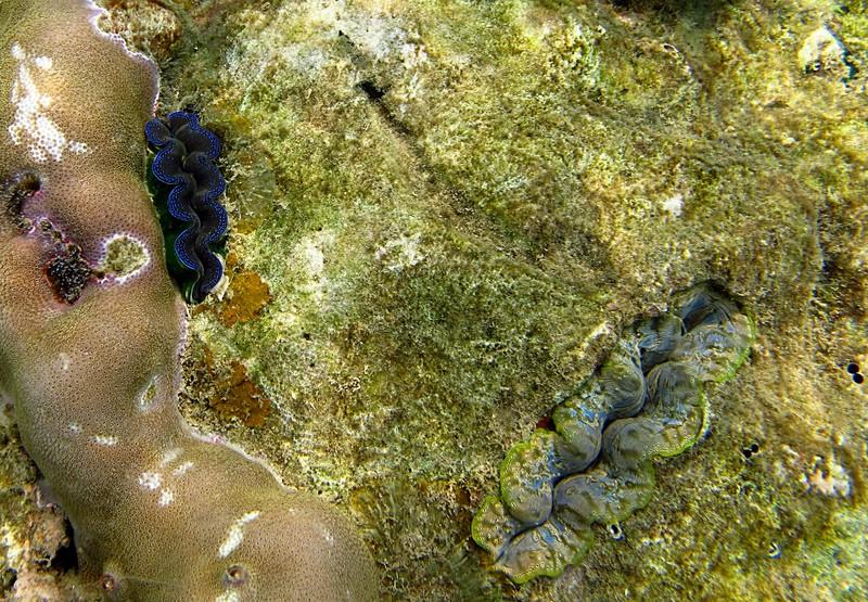 feb 04 2076 2 giant clams