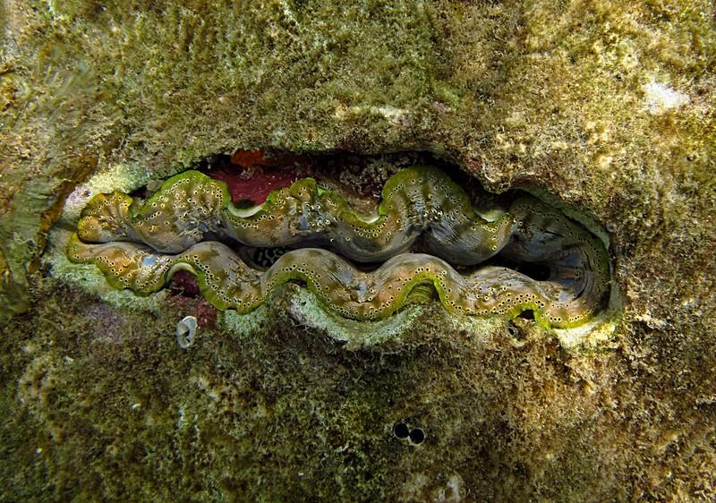 feb 04 2080 green tan giant clam