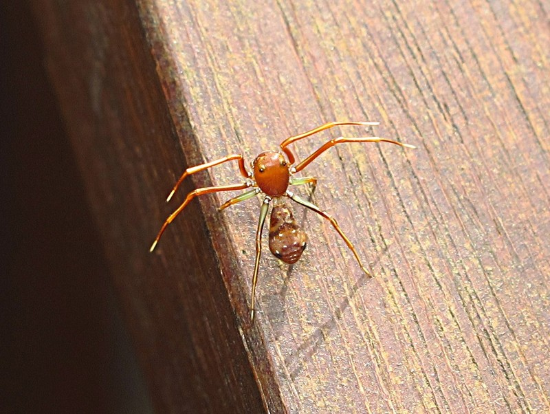 feb 04 2143 ant mimic spider