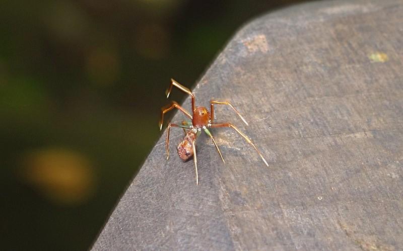 feb 04 2147 ant mimic spider