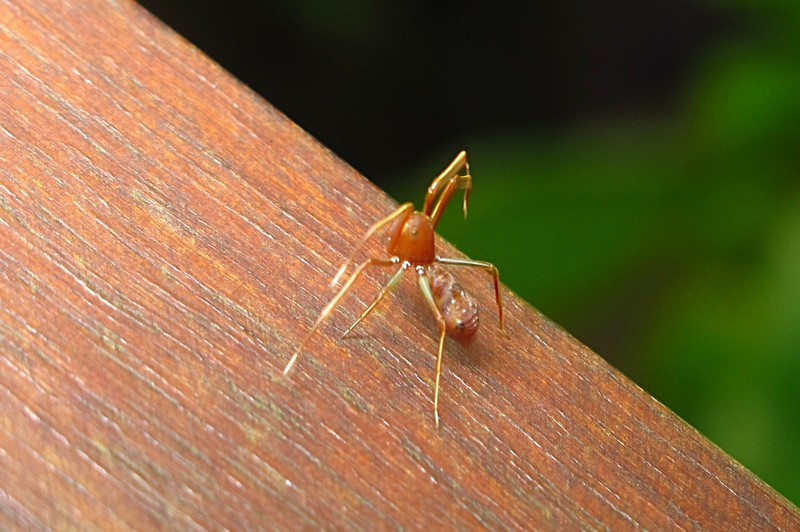 feb 04 2153 ant mimic spider