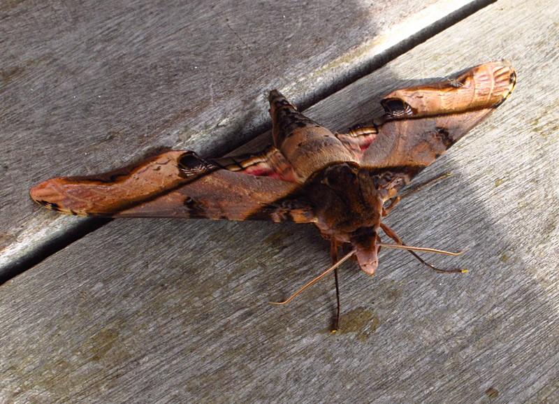 feb 05 2252 moth