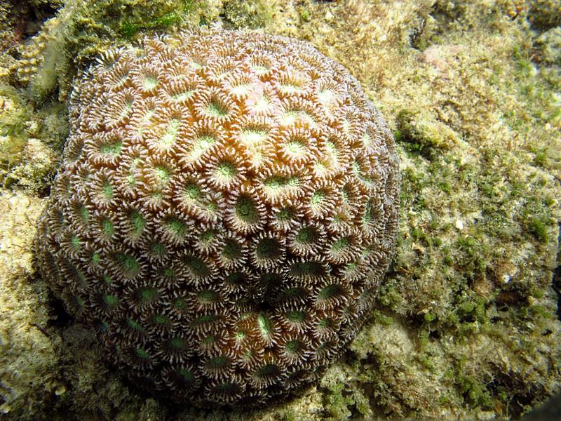 feb 05 2447 donut coral