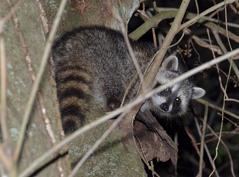 feb 05 5382 shy raccoon