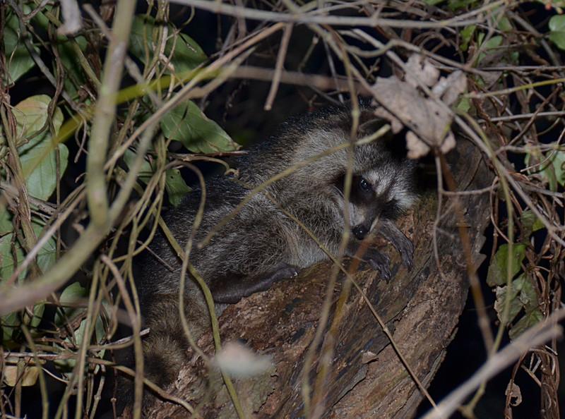feb 05 5388 shy raccoon