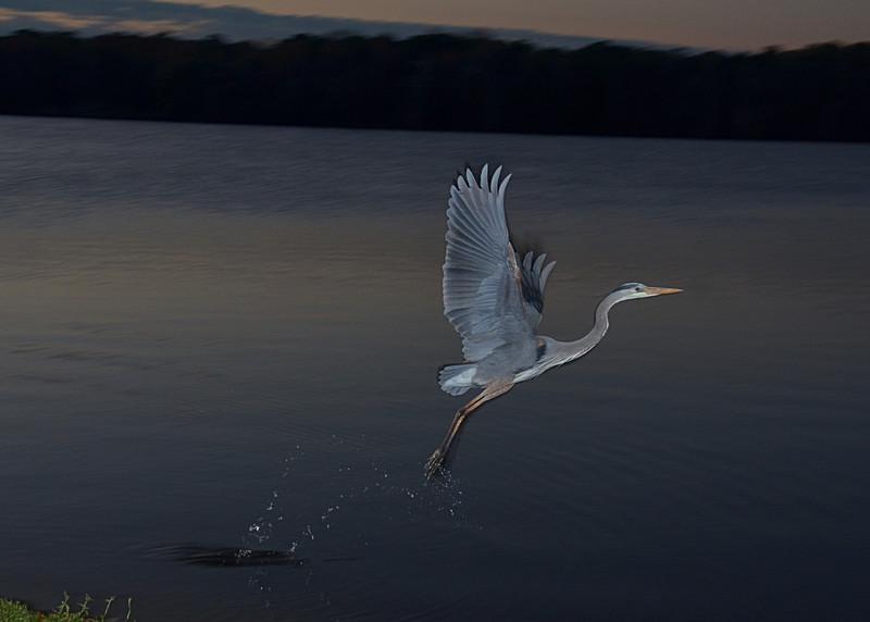 feb 05 5405 blue heron takeoff