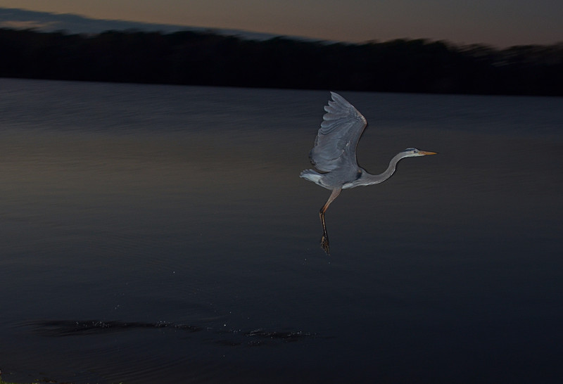 feb 05 5406 flying blue heron