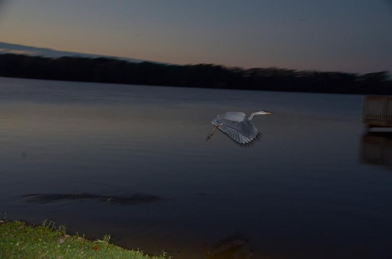 feb 05 5407 blue heron flight