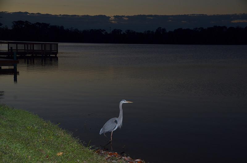 feb 05 5413 blue heron looking