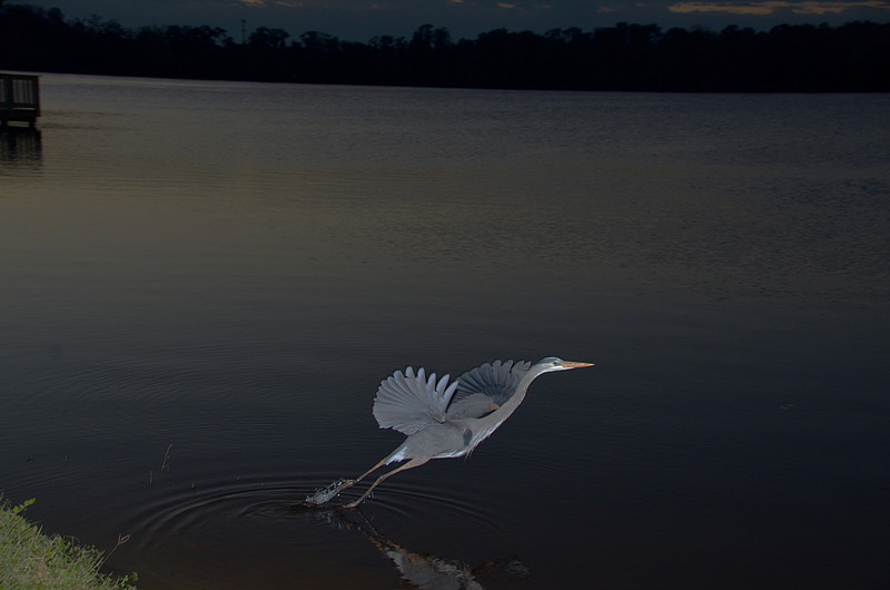 feb 05 5415 blue heron takeoff