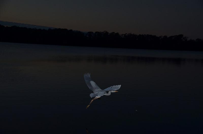 feb 05 5416 blue heron flight