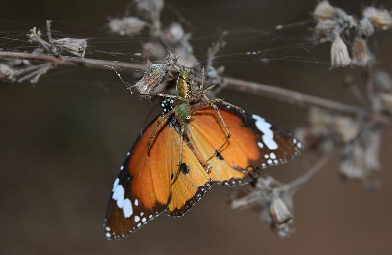 feb 10 8696 lynx butterfly