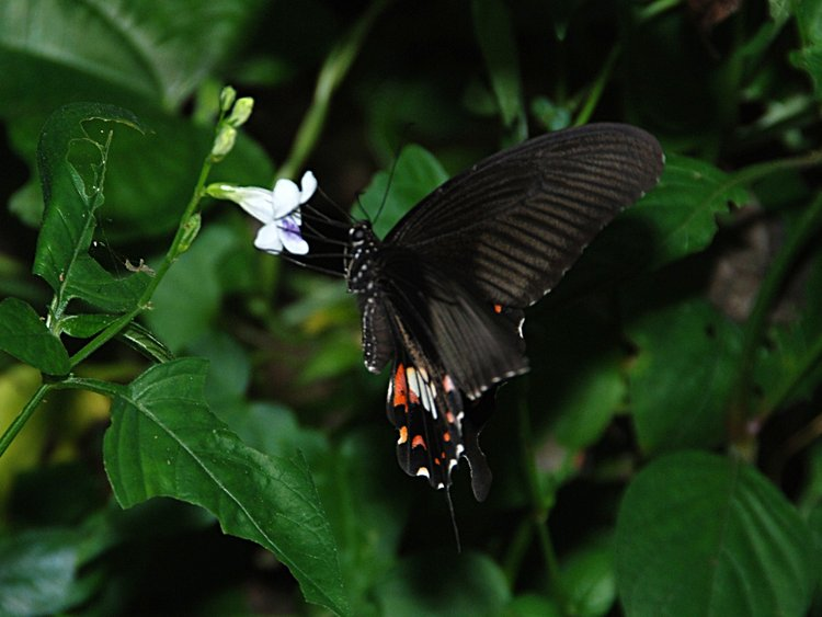essay on butterfly insects