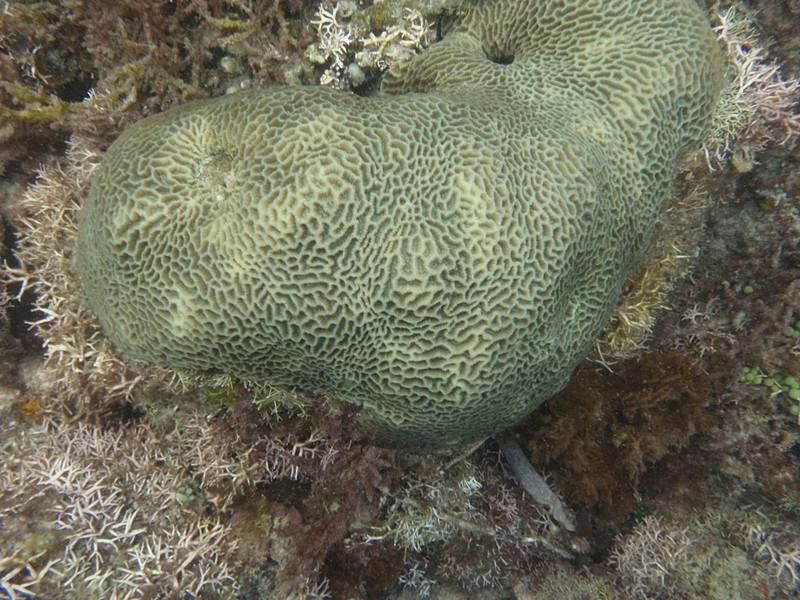 feb 12 1155 brain coral