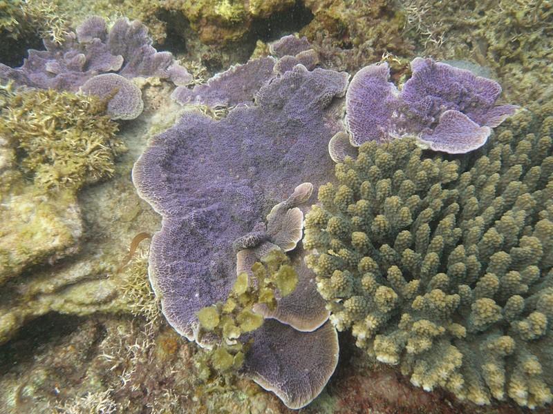 feb 12 1161 purple coral