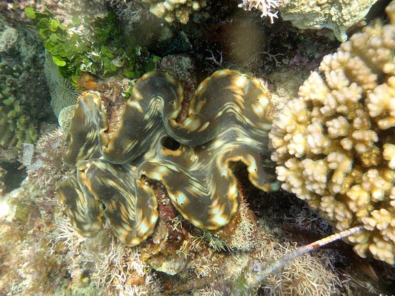 feb 12 1255 giant clam oriface