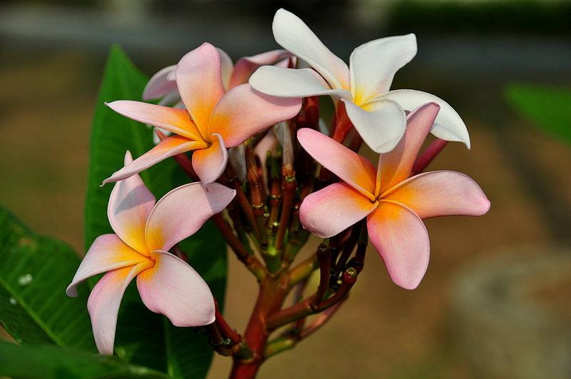 feb 13 2448 frangipani bouquet