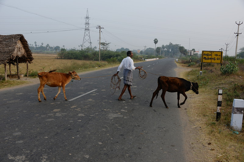 feb 14 0085 two cows