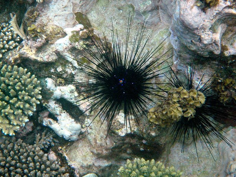 feb 14 2787 sea urchin