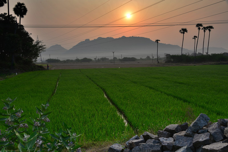 feb 15 0496 morning rice fields