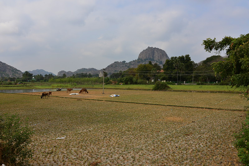 feb 15 0657 rice fields