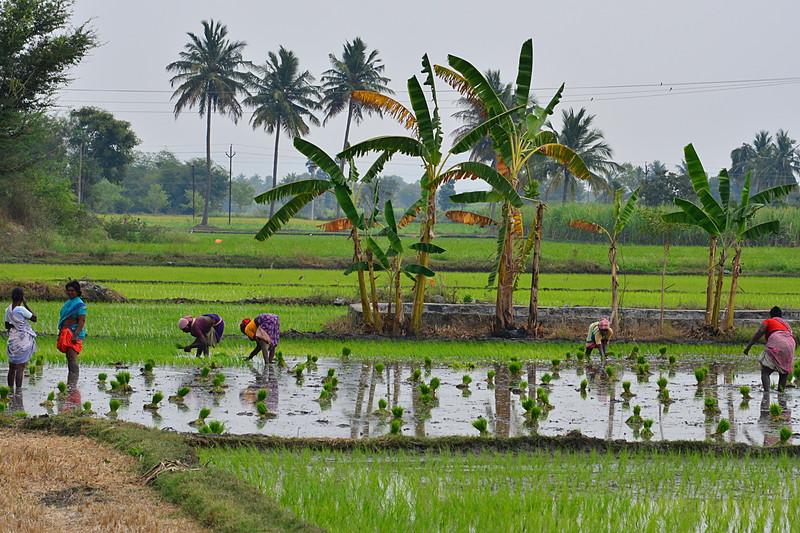 feb 15 0755 planting rice