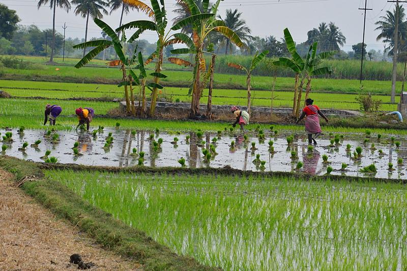 feb 15 0759 planting rice