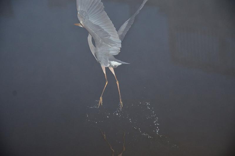 feb 17 5802 foggy heron takeoff