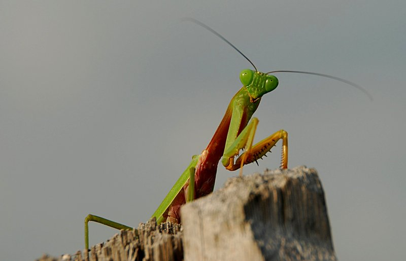 feb 18 1573 mantis top
