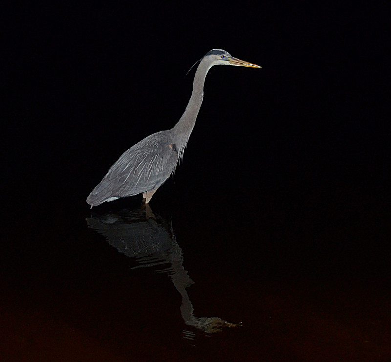 feb 18 5913 morning heron