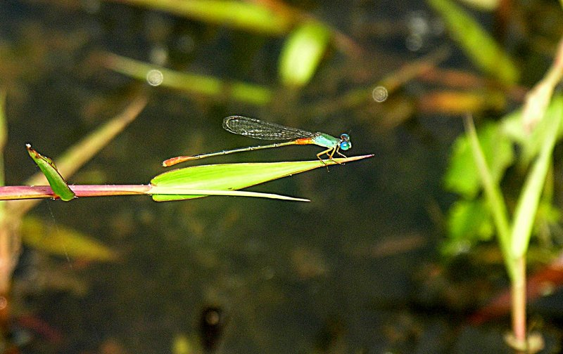 feb 19 1359 aqua damselfly