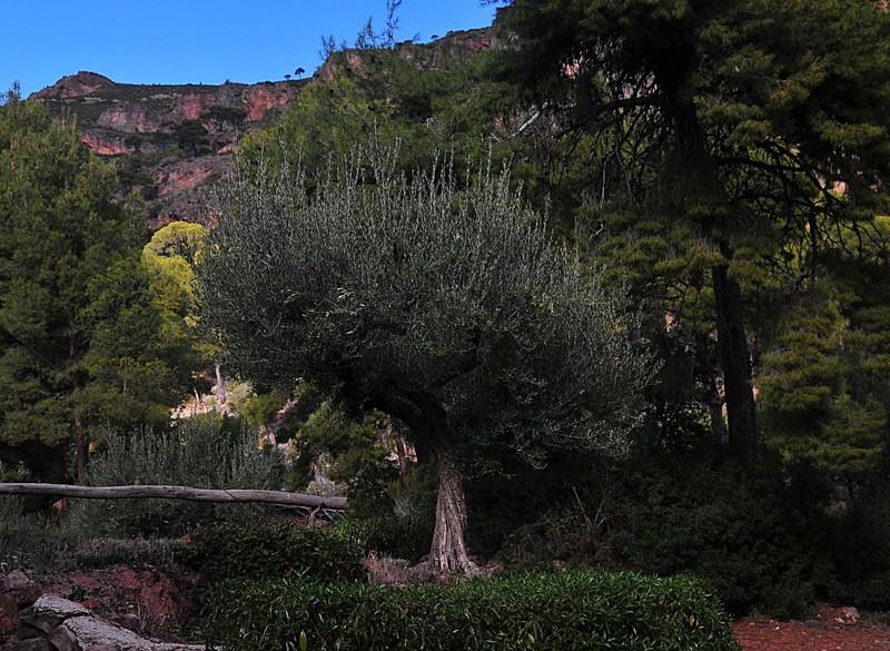 feb 20 7575 olive tree
