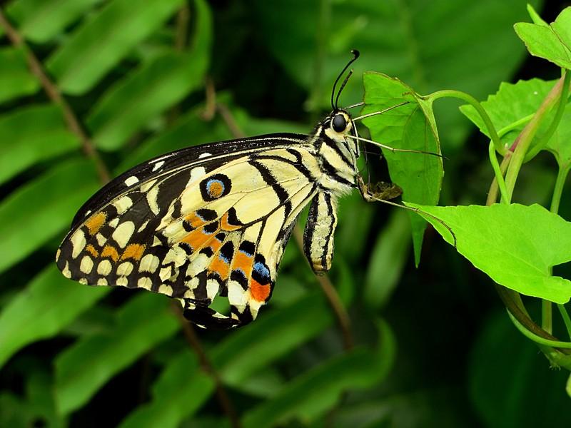 jan 01 0872 butterfly