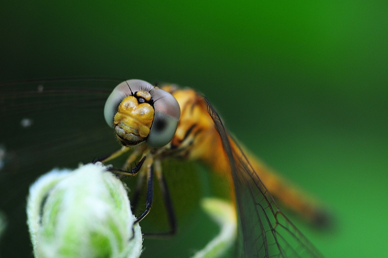 jan 01 3113 dragonfly face.jpg