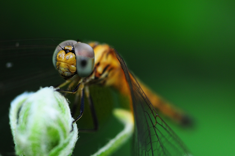 jan 01 3118 dragonfly eyes.jpg