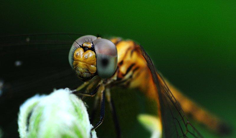 jan 01 3120 dragonfly face.jpg