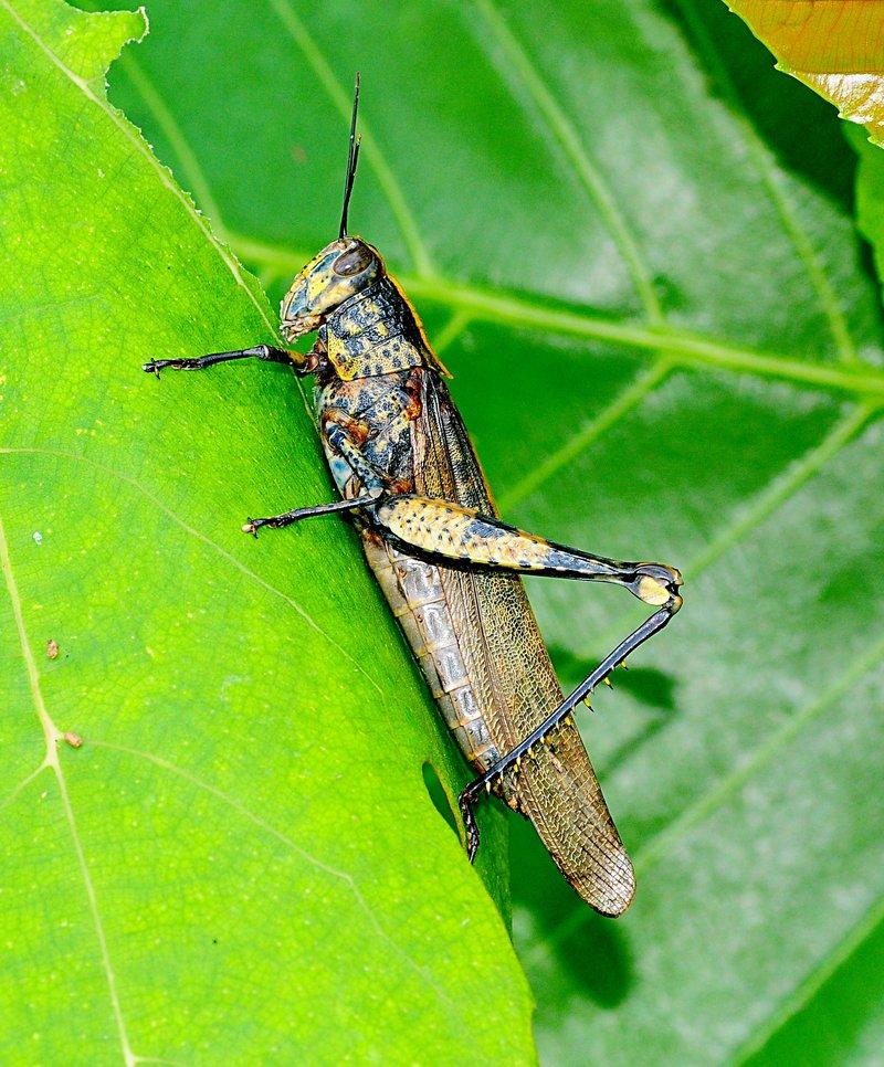 jan 01 3123 big grasshopper.jpg
