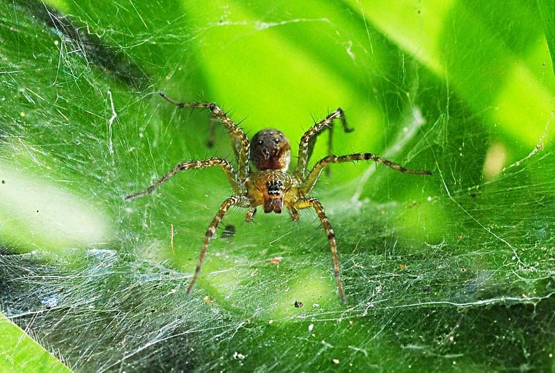 jan 01 3130 funnel web spider.jpg