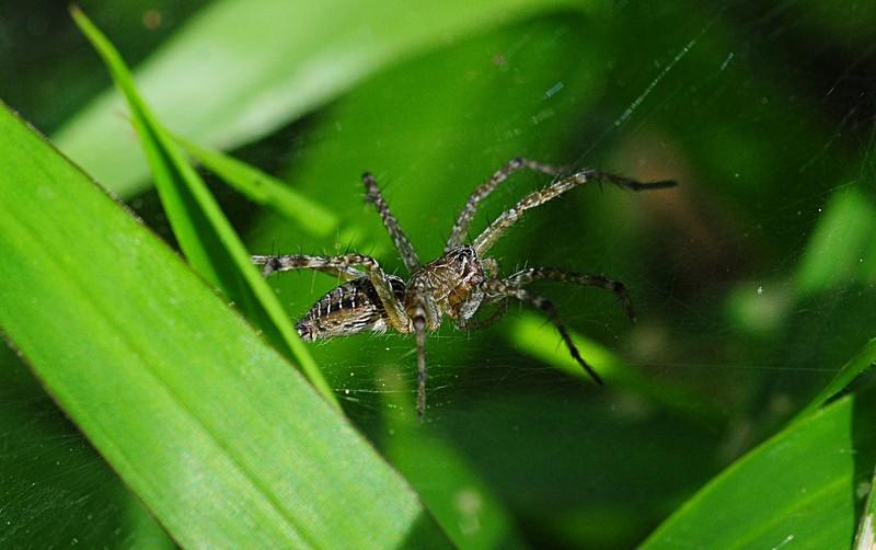 jan 01 3135 funnel spider.jpg