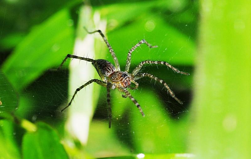 jan 01 3144 funnel spider.jpg
