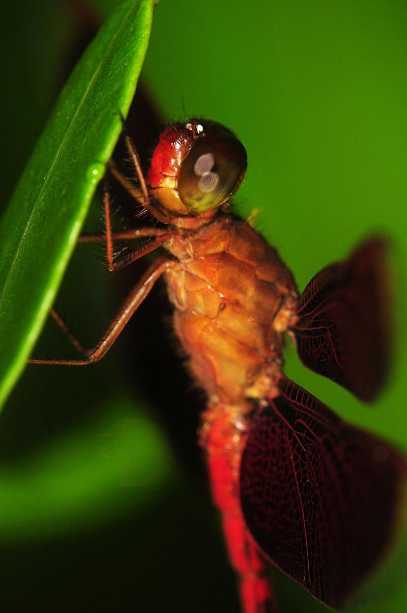 jan_01_3223_red_dragonfly.jpg