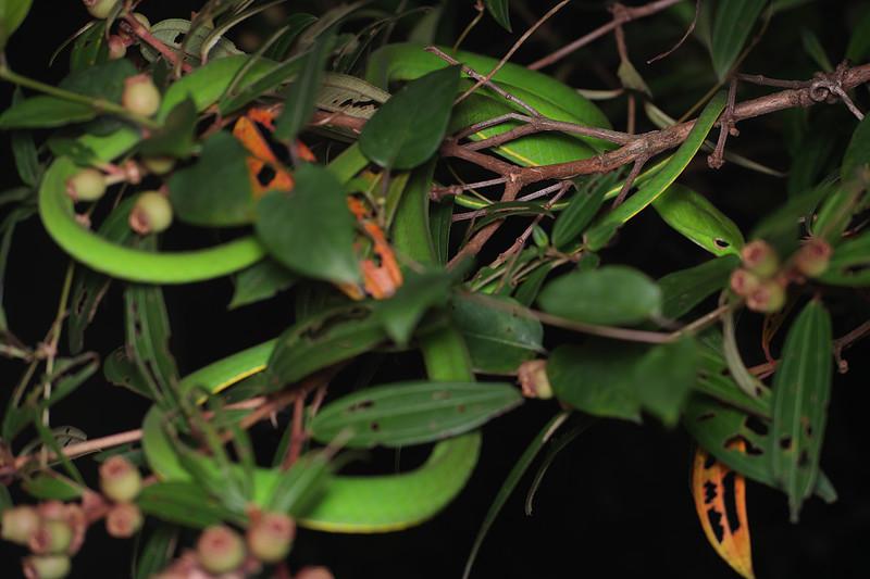 jan 03 2910 oriental whip snake Ahaetulla
