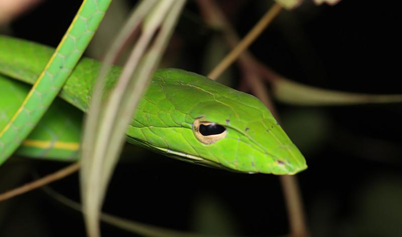 jan 03 2912 Ahaetulla oriental whip snake face