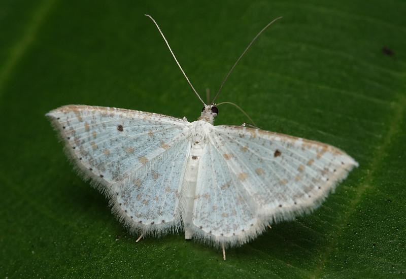jan 03 2932 white moth