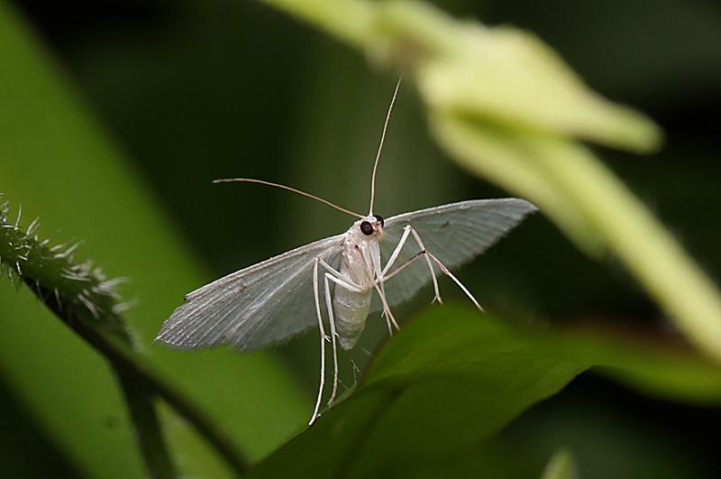 jan 03 2937 white moth