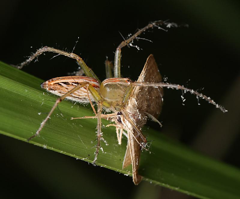 jan 03 2953 oxyopes moth