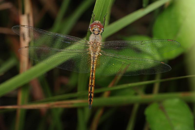 jan 03 2975 dragonfly