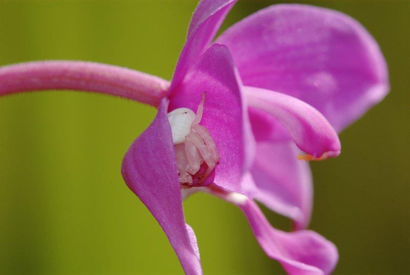 jan 06 0920 lynx orchid