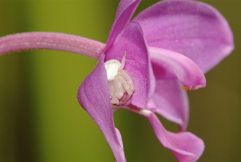 jan 06 0923 lynx orchid