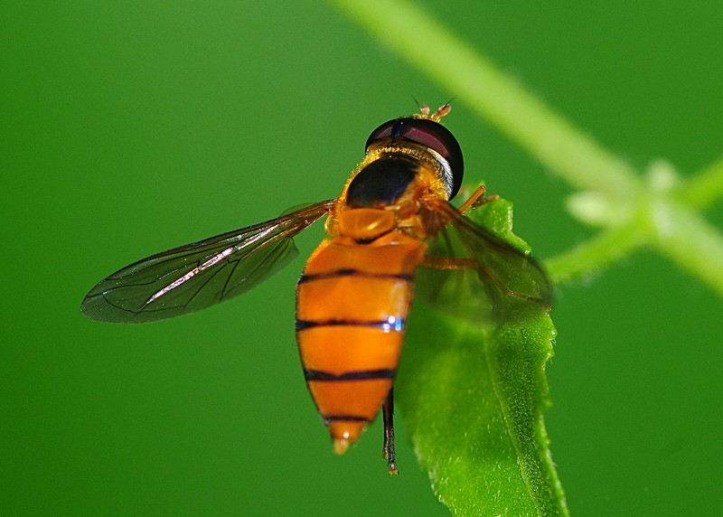 jan 16 4392 hover fly